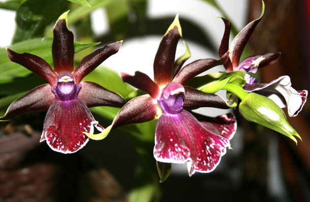 zygopetalum orchid, zygopetalum, orchid care tips