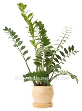 zz plant, zamioculcas zamiifolia, easy houseplants