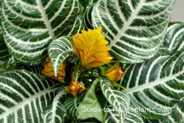zebra plant, aphelandra squarrosa, exotic house plant