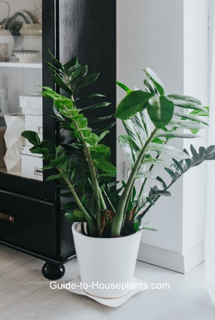 Zz Plant Zamioculcas Zamiifolia Care Tips Pictures